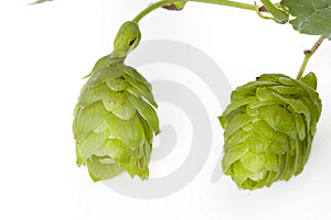 Hop Fruit Stock Photo - Image: 6406580