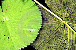 Lily Pad Flipped  Royalty Free Stock Photo - Image: 6407185