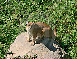 Cougar On A Rock Stock Photography - Image: 6407442