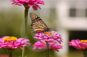 Monarch's Feast Royalty Free Stock Image - Image: 6408316