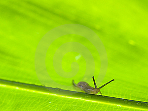 Slug On Large Leaf Royalty Free Stock Photo - Image: 6409145