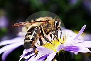 Bee Royalty Free Stock Photo - Image: 6412025