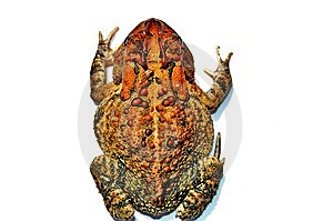 Toad Stock Image - Image: 6419031
