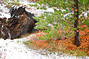 Pine Tree And First Snow Royalty Free Stock Image - Image: 6422836