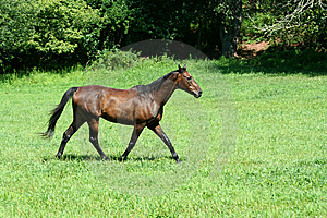 Brown Horse Walking In A Green Field Stock Photography - Image: 6423132