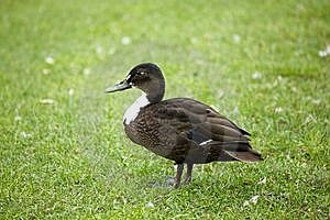 Duck Ion The Grass Stock Image - Image: 6428881