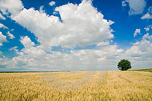 Wheat Field Stock Photo - Image: 6429580