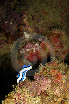 Nudibranch Royalty Free Stock Photography - Image: 6431937