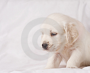 White retriever puppy on white background Stock Photo