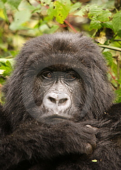Group 13 Female Mountain Gorilla Stock Photos - Image: 6438933