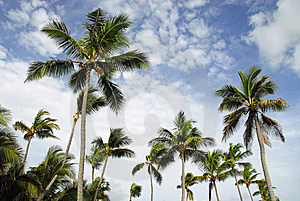 Coconut Palms Stock Photo - Image: 6451260