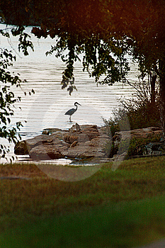 Blue Heron Stalking A Fish Royalty Free Stock Image - Image: 6452166