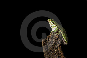Green Tree Frog Pre-Leap Stock Photo - Image: 6452750