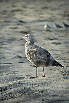 Seagull On Beach Stock Photos - Image: 6459113