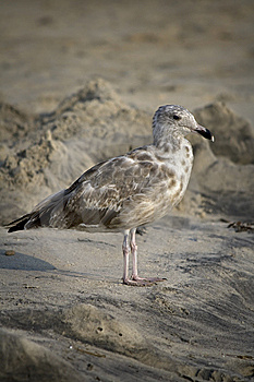 Seagull On The Beach Royalty Free Stock Image - Image: 6459166