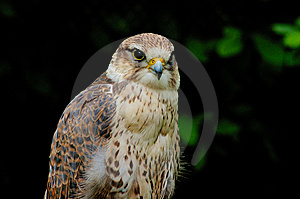 Saker Falcon Stock Photography - Image: 6467532