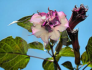 Datura Cornucopia Stock Photo - Image: 6469130