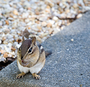 Eastern Chipmunk Stock Photo - Image: 6470800