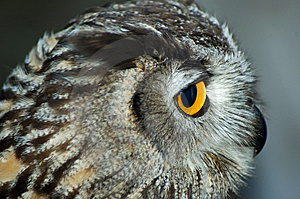Close Up Macro Owl Head Royalty Free Stock Image - Image: 6474296