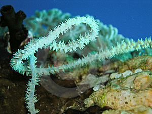 Polyps Of A Sea Whip Coral Royalty Free Stock Image - Image: 6480836