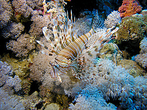 Lion Fish Royalty Free Stock Images - Image: 6481029