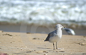 Seagull On The Beach Royalty Free Stock Image - Image: 6481616