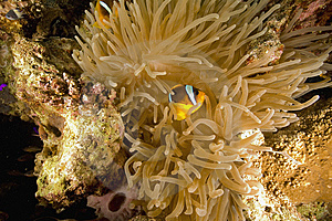 Red Sea Anemonefish (Amphipiron Bicinctus) Stock Image - Image: 6482571