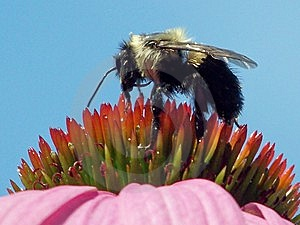 Bee On Coneflower Royalty Free Stock Images - Image: 6483929