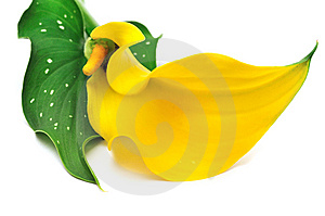Yellow Calla Royalty Free Stock Photography - Image: 6488987