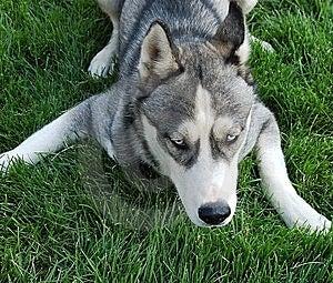 Husky Royalty Free Stock Photography - Image: 6490677