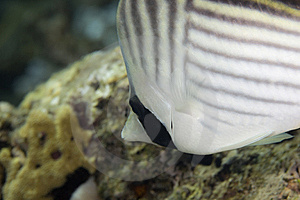 Threadfin Butterflyfish (chaetodon Auriga) Stock Photo - Image: 6493750