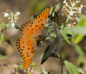 Gulf Fritillary Butterfly Free Stock Photo