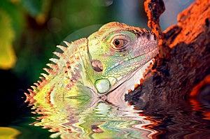 Iguana Stock Images - Image: 652904