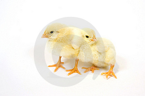 A pair of baby chick on white background 4 Free Stock Images
