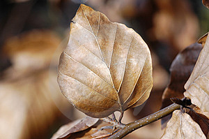 Dead Leaf Detail Royalty Free Stock Image - Image: 659666