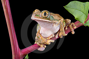 Big-eyed Tree Frog On Pokeweed Stock Images - Image: 6503574