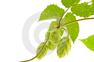 Hop Royalty Free Stock Image - Image: 6511376