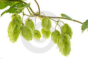 Hop Royalty Free Stock Photography - Image: 6511387