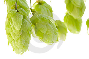 Hop Royalty Free Stock Photo - Image: 6511405