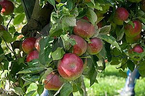 Red Apples Royalty Free Stock Image - Image: 6520286