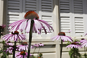 Echinacea Blooms In The Sunshine Stock Photos - Image: 6522123