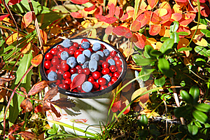 Wild Berries: Autumnal Harvest Stock Images - Image: 6523824