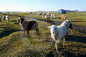 Sheep Grazing Stock Images - Image: 6526814