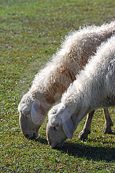 Sheep Grazing Royalty Free Stock Photo - Image: 6527025