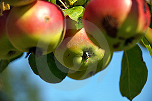 Apple #3 Stock Photography - Image: 6529292
