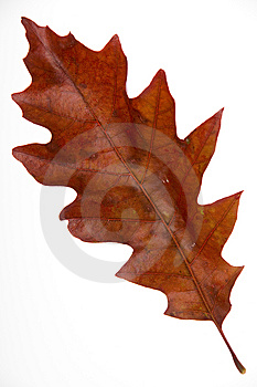 Red Leaf Royalty Free Stock Photos - Image: 6543018