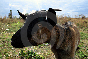 Domestic Goat Stock Image - Image: 6549951