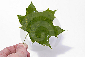 Maple Leaf In Hand Stock Image - Image: 6551531