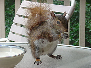 Snacking Squirrel Royalty Free Stock Photo - Image: 6552585