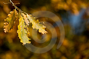 Oak Leaves In Autumn Royalty Free Stock Photo - Image: 6555115